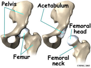 the hip joint naples' best orthopaedic surgeon explains the hip joint tibia and fibula the bones of the hip joint are the femur (the thigh bone) and the pelvis the top end of the femur is shaped like a ball this ball is called the femoral
